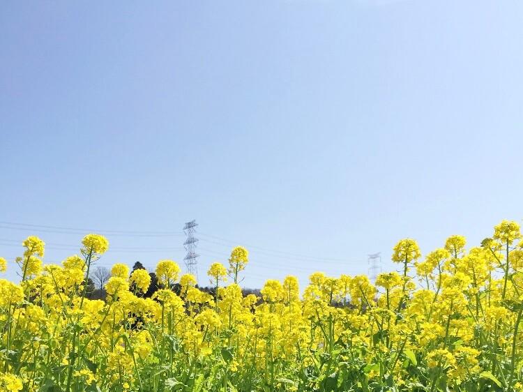 大御堂観音寺菜の花